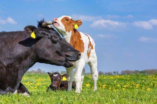 GettyImages-Ben-Schonewille cattle cows