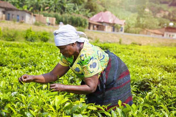 GettyImages-stellalevi africa farmer tea